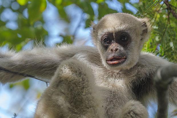 957 hectares abrigam 350 exemplares de macacos muriquis-do-norte.
